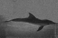 """prof. zw. Waldemar Węgrzyn, """"Delfin"""" sitodruk na blasze 2005, 100 x 210 cm"""